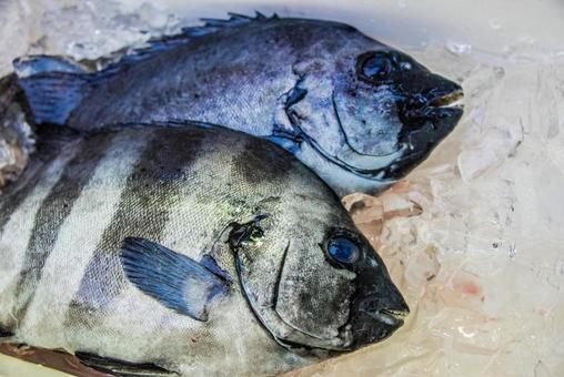【Fish · Living Thing】 Ishihima · Ishidai