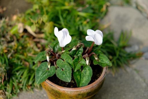After summer, the second year of garden cyclamen