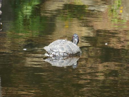 Hakodate Park Hokkai Pond Turtle
