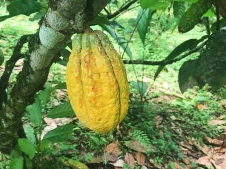 Cacao pot