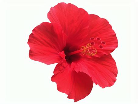 Hibiscus of clipping mask cutout 1