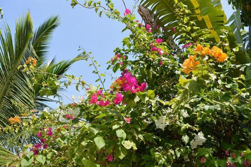Maldivian flowers 9