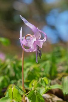 Slender flower of Japanese erythronium