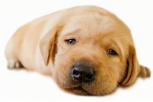 눈동자의 강아지 래브라도 리트리버