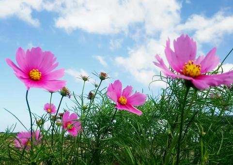 Bright cosmos and blue sky 2