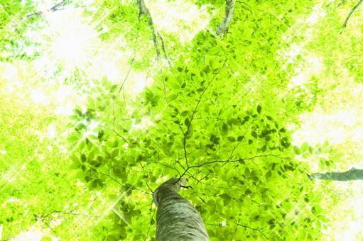 Glittering beech tree