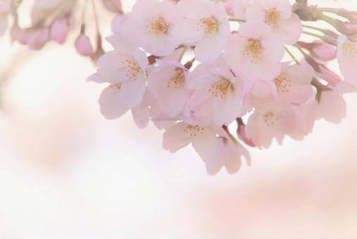 Fluffy cherry tree