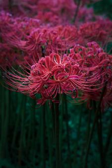 피안 꽃 (히간 바나)
