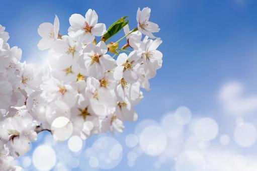 蓝蓝的天空,樱花和春光