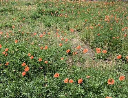 Poppy blooming field