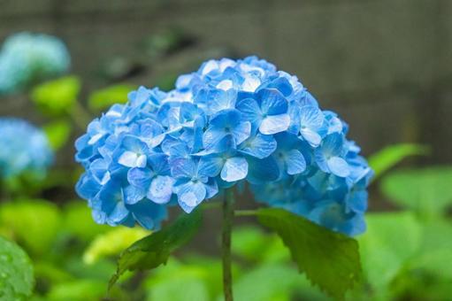 Hydrangea Hydrangea Hydrangea Beautiful Beautiful Fantastic rain Rainy season Petals Shining bright blue green