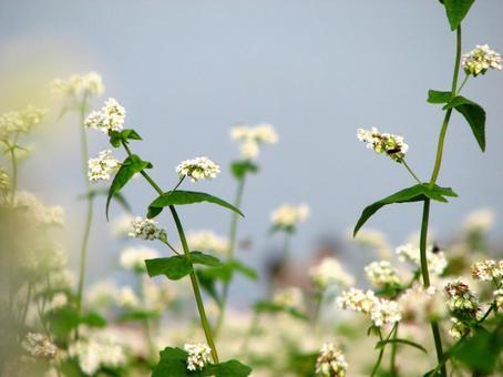 하늘로 향하는 메밀의 꽃