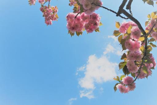 겹 벗나무와 푸른 하늘