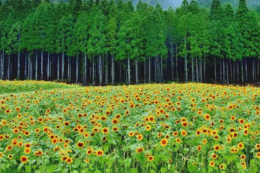 Tomorrow of sunflower