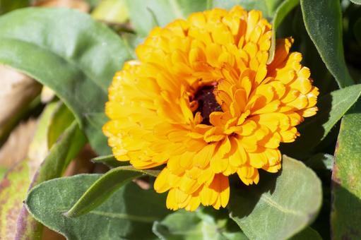 Pretty orange calendula flowers