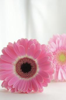 Two pink gerberas