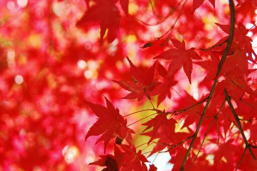 Autumn leaves red light crimson autumn illuminated by backlight
