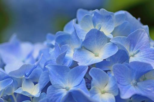 Hydrangea hydrangea blue flower