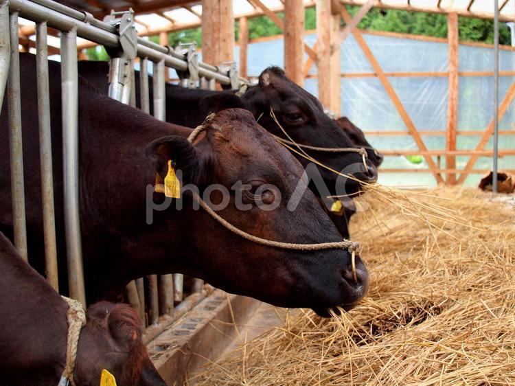 牛の食事風景の写真