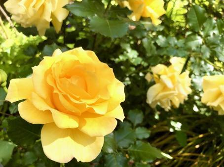 黃玫瑰框架