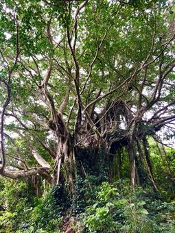 Large banyan tree (vertical)