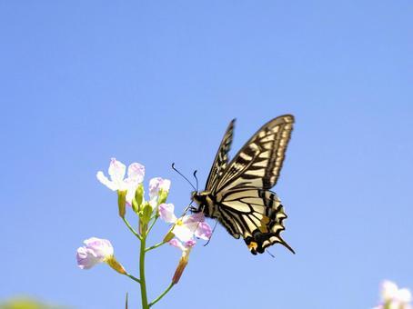 Swallowtail butterfly. 01