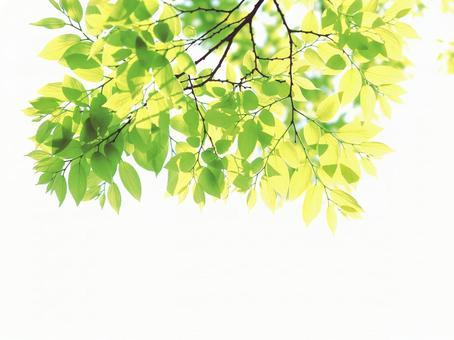 Fresh green young leaves Zelkova zelkova