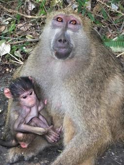 猴子父母和孩子
