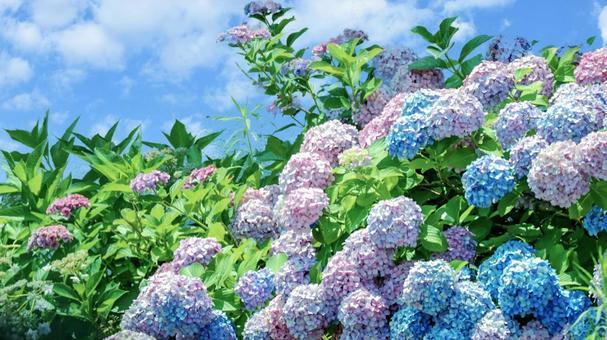 Hydrangea and blue sky ③