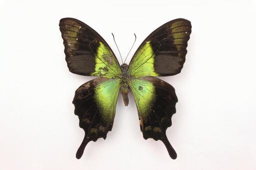 나비 호랑과