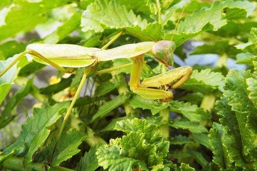 Mantis catch ②
