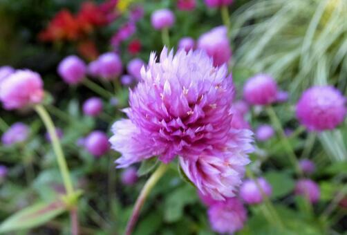 センニチコウ [Globe amaranth]-011