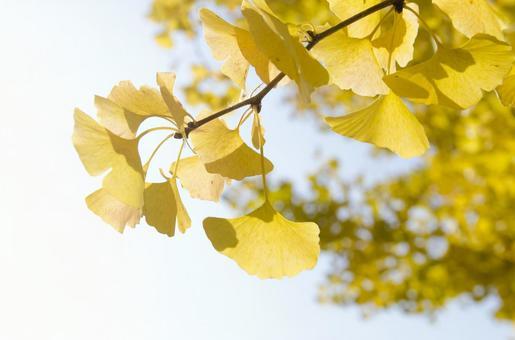 Ginkgo Leaf 3