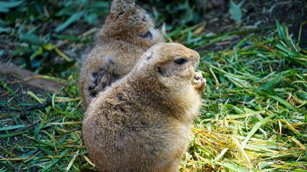 Prairie dogs [Ueno Zoo]