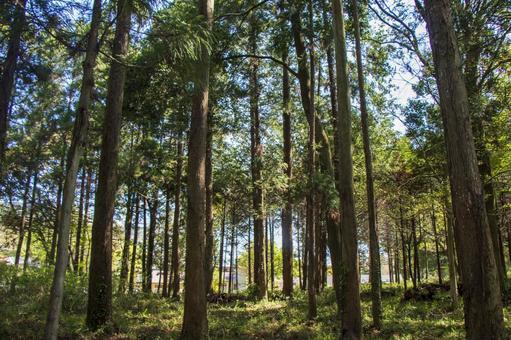 삼나무 숲