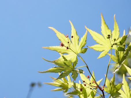 Acer palmatum flowers and blue sky background