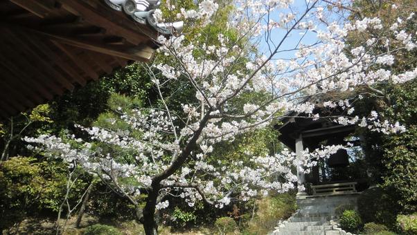 伊勢寺的櫻花和鍾樓(高月市)