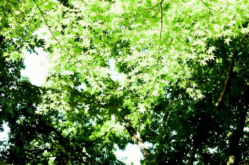 Fresh green maple