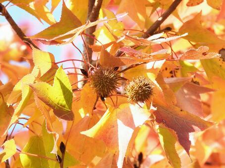 Autumn leaves and fruits of Fuu (maple)