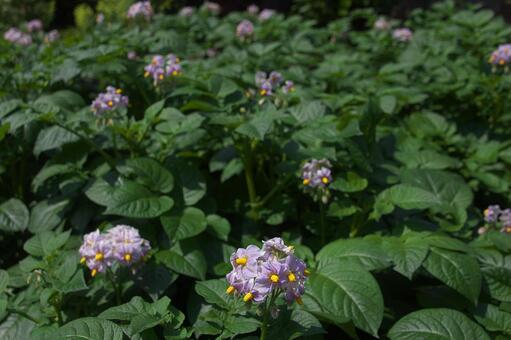 Vegetable flower potato