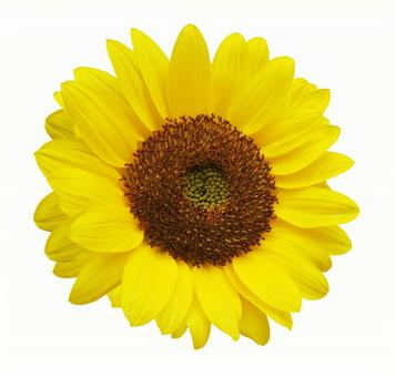 Sunflower in full bloom and white background