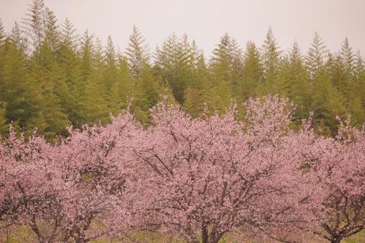 만개 한 벚꽃이있는 풍경