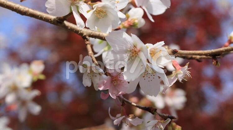 紅葉をバックにした四季桜の写真