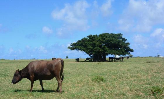 Cow of Kuroshima