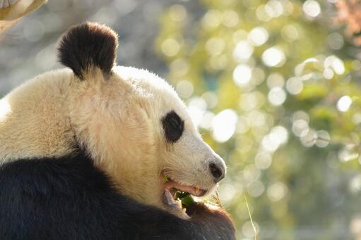 Giant panda with profile 3