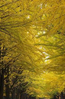 Ginkgo bunches at Hokkaido University with beautiful yellow leaves