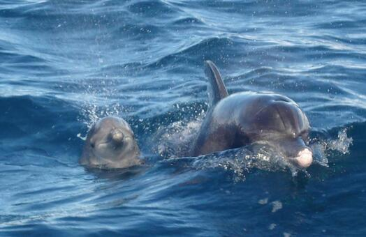 Parent and child of dolphin