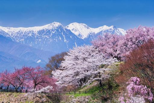 Cherry blossoms and alps