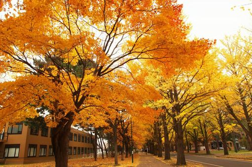 Hokkaido University's yellow leaves and ginkgo trees
