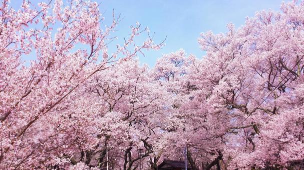 春爛漫 満開の桜がある風景 0720
